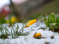 Yellow crocus in melting snow and grass Stock Image