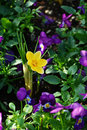 Yellow crocus and purple flowers a single flower in a pansy flower patch Royalty Free Stock Photos