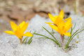 Yellow crocus in the snow Royalty Free Stock Photo