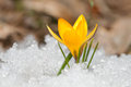Yellow crocus on the snow Royalty Free Stock Image