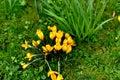 Yellow crocus Royalty Free Stock Photo