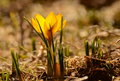 Yellow crocus a a sunny day in spring Royalty Free Stock Image