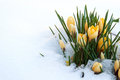 Yellow crocuses cold snow Royalty Free Stock Photo
