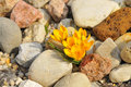 Yellow crocuses many in a rock garden Stock Photography