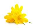 Yellow Crocuses / Spring Flowe...
