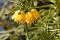 Yellow crown imperial Fritillaria imperialis Royalty Free Stock Photo