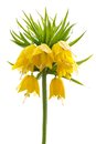 Yellow crown imperial on white background fritillaria imperialis or kaiser s isolated Royalty Free Stock Images