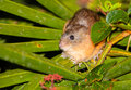 Yellow-crowned Brush-tailed Rat Stock Image