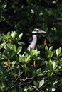 Yellow crowned night heron Stock Images
