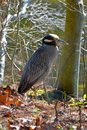 Yellow-crowned Night Heron Royalty Free Stock Photos