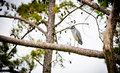 Yellow-Crowned Night Heron Royalty Free Stock Photography