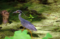 Yellow crowned night heron a also called the american or squawk wading through a small canal Stock Photo