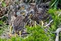 Yellow-crowned Night Heron Chi...