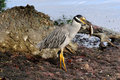 Yellow Crowned Night Heron with crab Royalty Free Stock Image