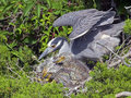 Yellow-crowned Night Heron Mother and Chicks Royalty Free Stock Photo