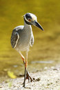 Yellow-crowned Night Heron Stalking its Prey Stock Image