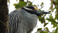 Yellow crowned night heron in texas Royalty Free Stock Images