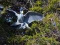 Yellow crowned night herons mating Royalty Free Stock Photos