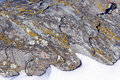 Yellow crustose lichen on schist rock Royalty Free Stock Photo
