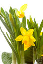 Yellow Daffodil flower in closeup Royalty Free Stock Photo