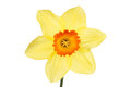 Yellow daffodil flower with an orange center isolated against white Stock Images
