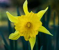 Yellow daffodil flower in spring garden Royalty Free Stock Photography