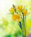 Yellow daffodil flowers on blurred background Royalty Free Stock Image