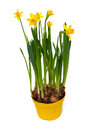 Yellow daffodil flowers isolated on white background Royalty Free Stock Photography