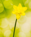 Yellow daffodil narcissus flower close up green bokeh gradient background Stock Photos