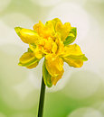 Yellow daffodil narcissus flower close up green to yellow gradient background Stock Photography