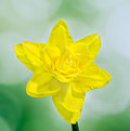 Yellow daffodil narcissus flower close up green to yellow gradient background Stock Image