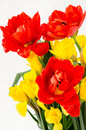 Yellow daffodil and red tulip Royalty Free Stock Photo