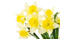 Yellow daffodil on a white background Royalty Free Stock Photography