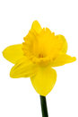 Yellow daffodil on white isolated background Royalty Free Stock Photo