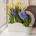 Yellow daffodils and blue hyacinths  in balcony boxes Royalty Free Stock Photo