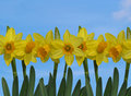 Yellow Daffodils with Blue Sky Royalty Free Stock Photo