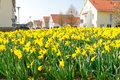 Yellow daffodils flower bed in front of a village Royalty Free Stock Photos