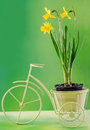 Yellow daffodils flowers in a flower pot on white vintage bicycle close up isolated green background Stock Photos