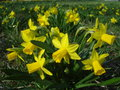 Yellow daffodils on meadow in spring Royalty Free Stock Photo
