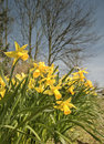 Yellow daffodils outside under a blue sky in spring Royalty Free Stock Photos