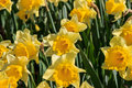 Yellow daffodils Royalty Free Stock Photo