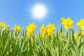 Yellow daffodils in spring sun on a sunny day Royalty Free Stock Images