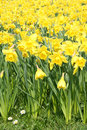 Yellow daffodils in springtime Stock Photography
