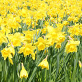 Yellow daffodils in springtime Royalty Free Stock Photo