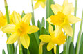 Yellow daffodils on a white background Royalty Free Stock Photography
