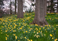 Yellow daffodils on a wooded hill