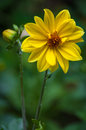 Yellow dahlia with bud variabilis in garden Stock Photography
