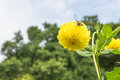 Yellow Dahlia flower and bee feeding Royalty Free Stock Photo