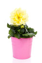 Yellow Dahlia flower in pink pot Stock Photos