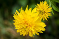 Yellow dahlia Royalty Free Stock Photo